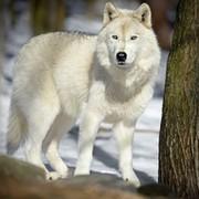 Белый  Волк on My World.